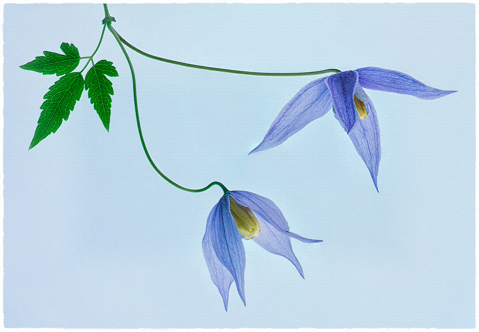 Simply Clematis