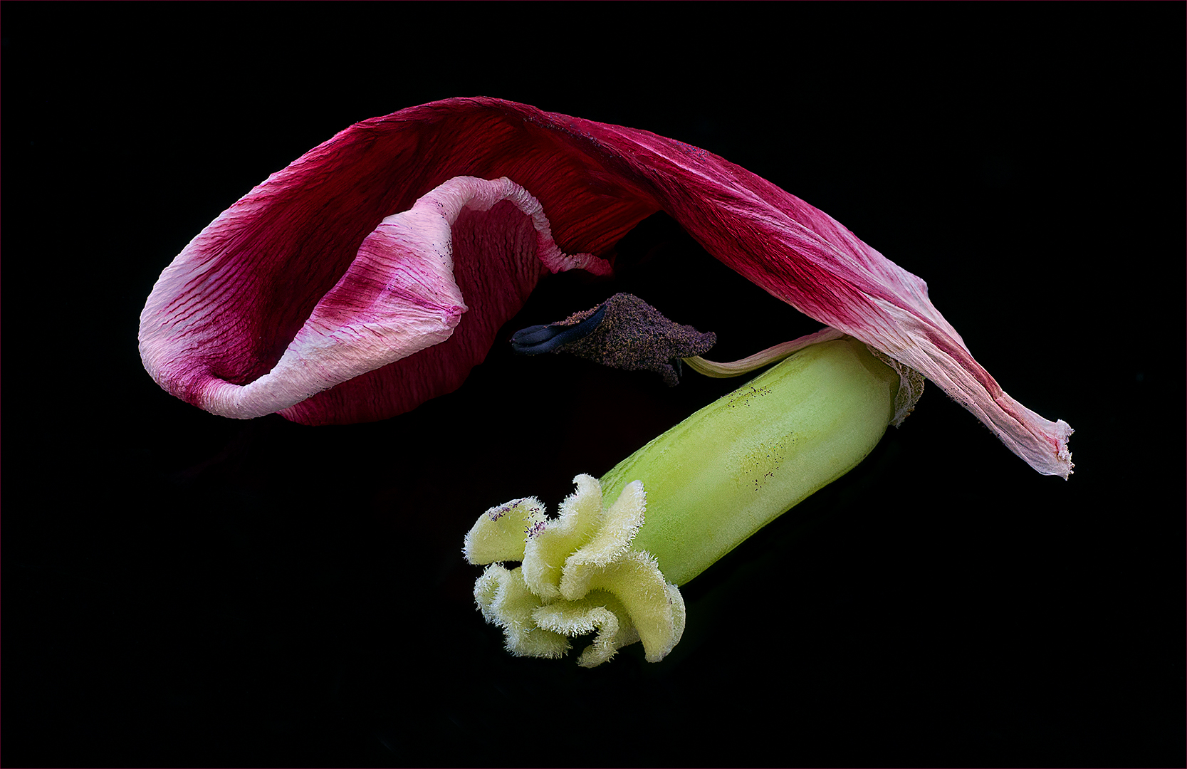 Remains of a Tulip