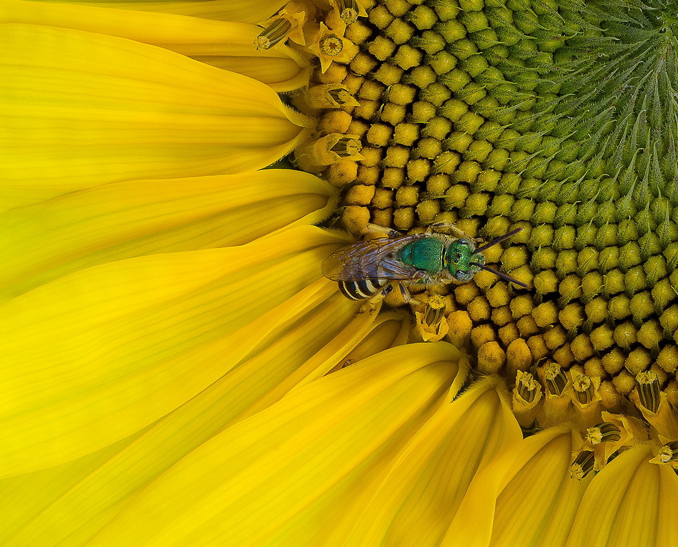 Sweat Bee on Sunflower