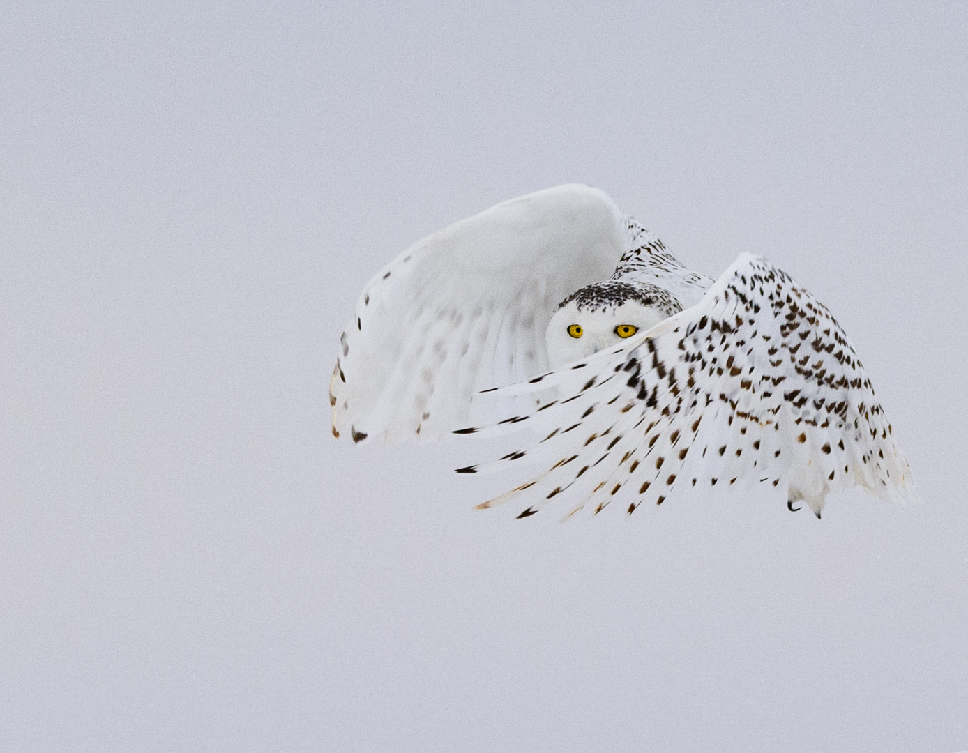 Snowy Owl Being Demur