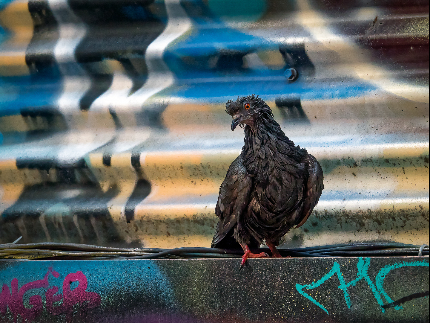 Graffiti Alley Pigeon