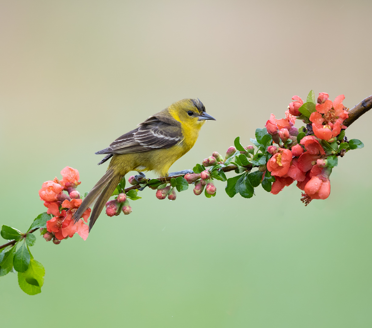Orchard oriole on blooms