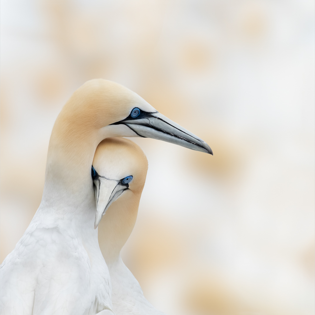 Northern Gannets post mating behaviour