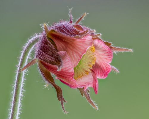 Alpine Water Avens