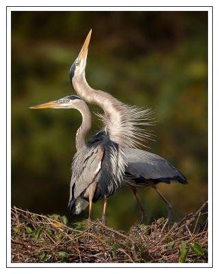 Heron Love