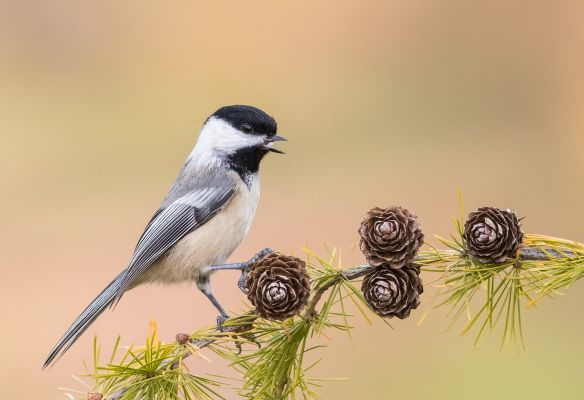 Chickadee on Cones