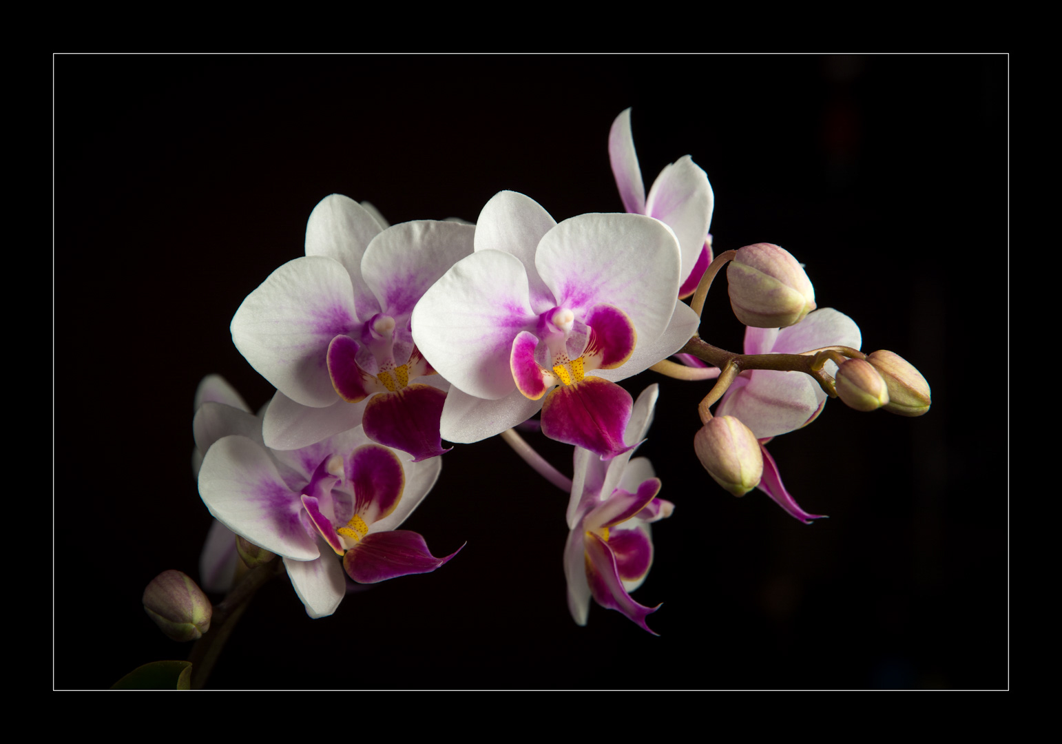 Miniture Orchid