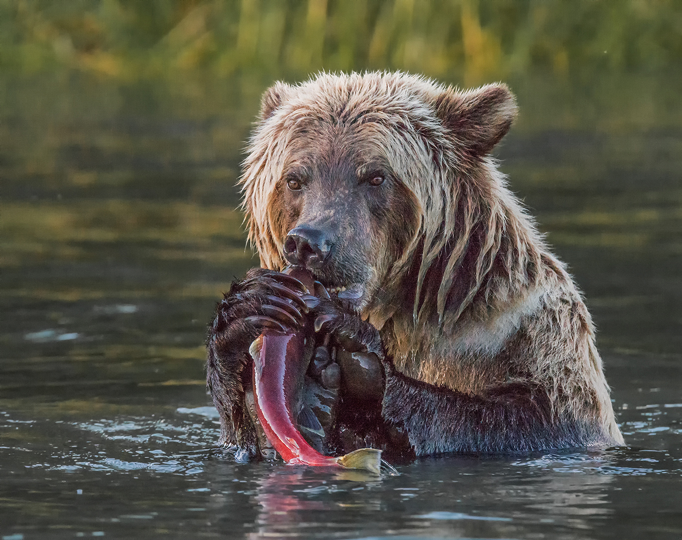 Grizzly Bear Sow Eating Coho Salmon