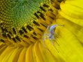 Sac Spider on Sunflower