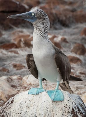 Blue Footed Booby, Galapogos