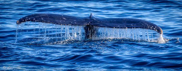 Humpback Whale, Cabo San Lucas