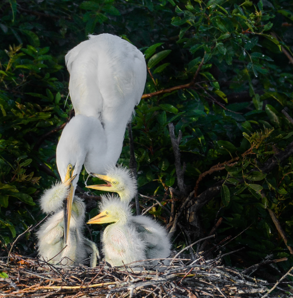 Great egret (Ardea alba) with chicks