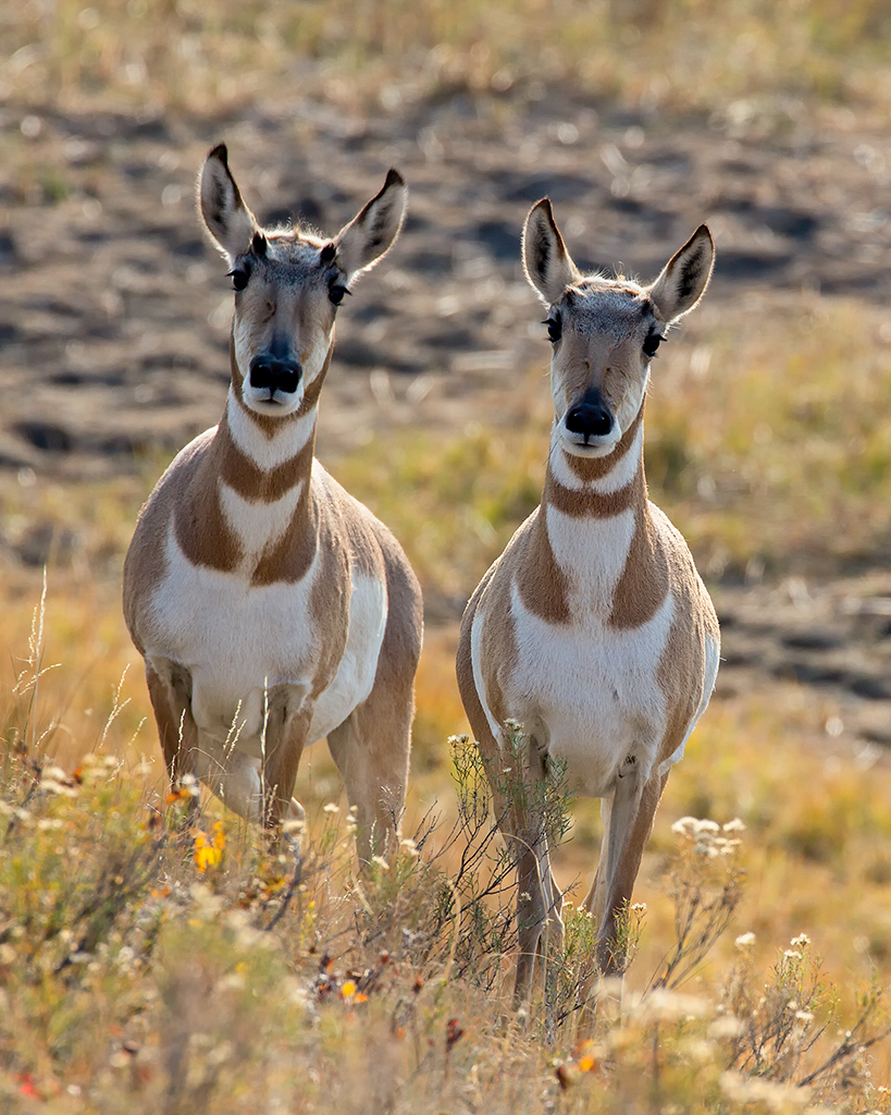 Prong Horned Antelope, a pair of does