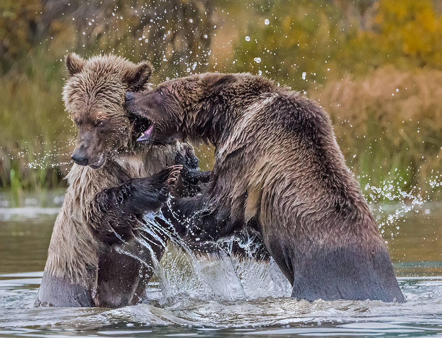 Grizzly Bear Cubs Fighting