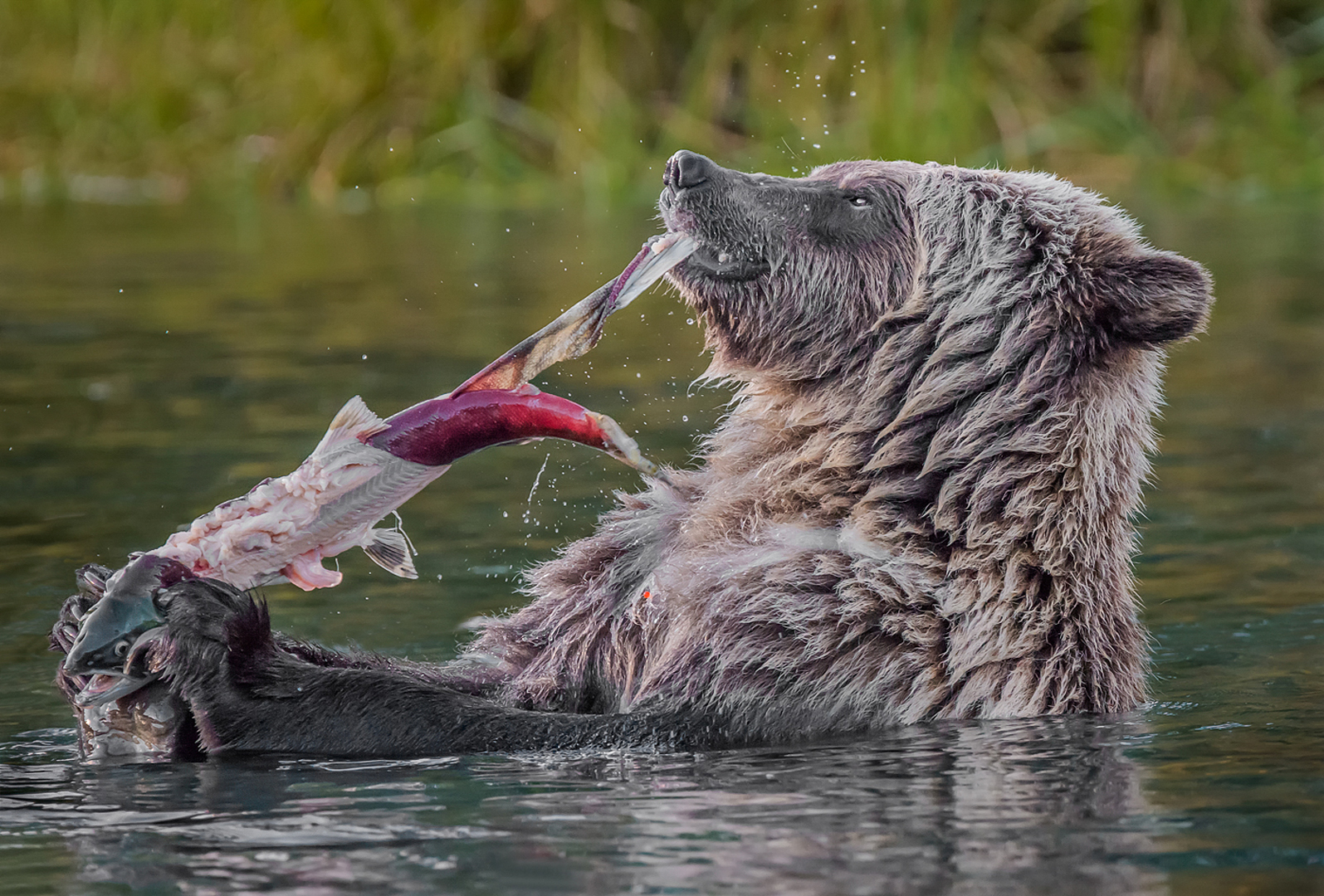 Grizzly Sow Eating Salmon