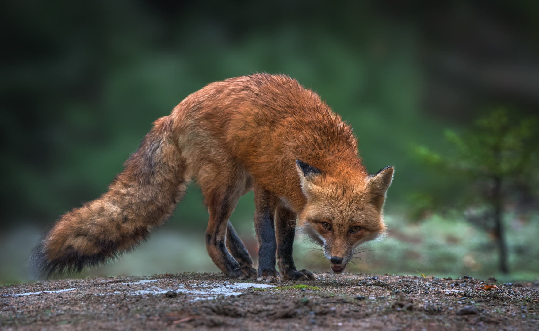 Close Encounter With A Red Fox