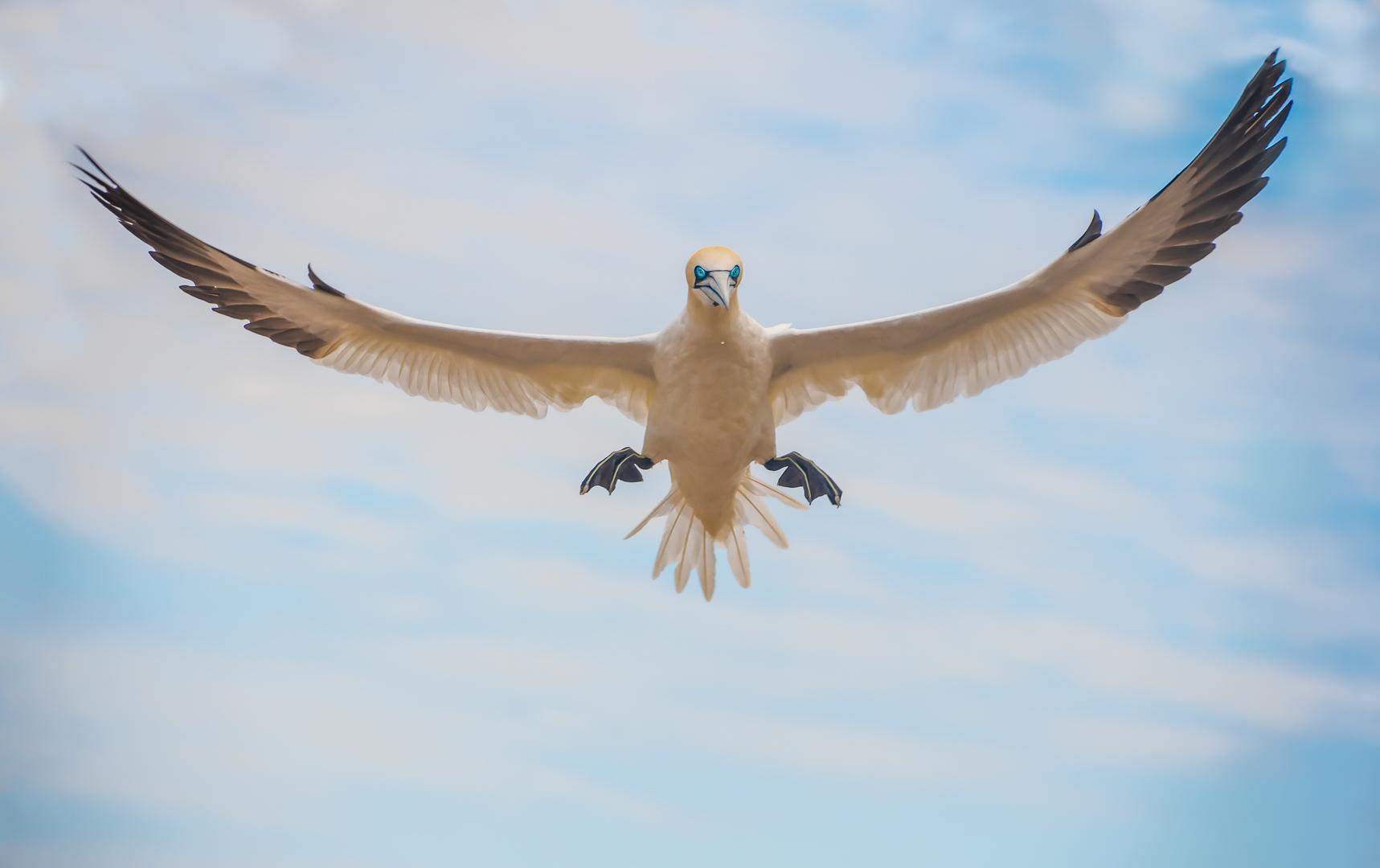 Gannet inflight