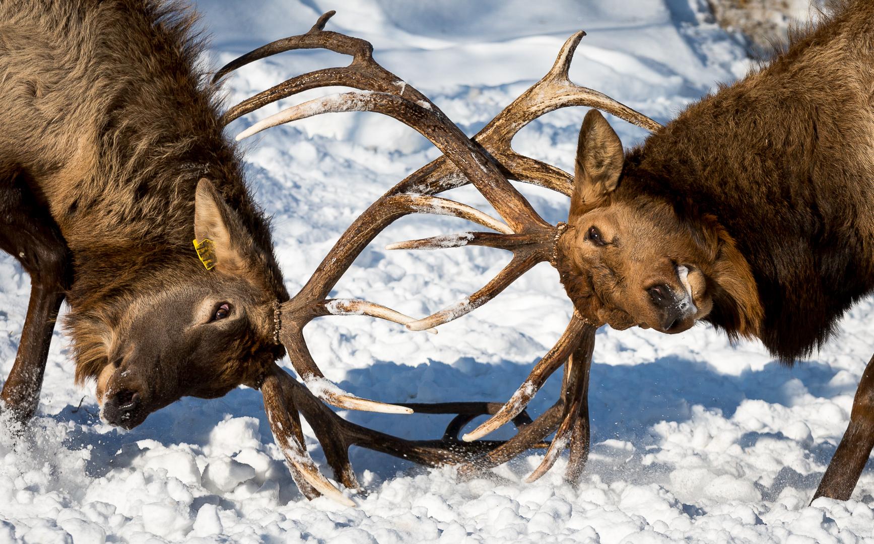 Red Deer Battle