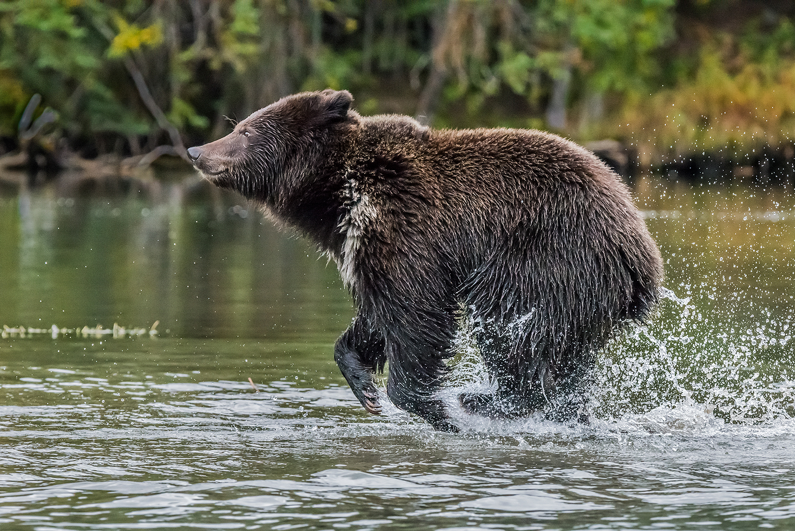 Grizzly bear cub in panic