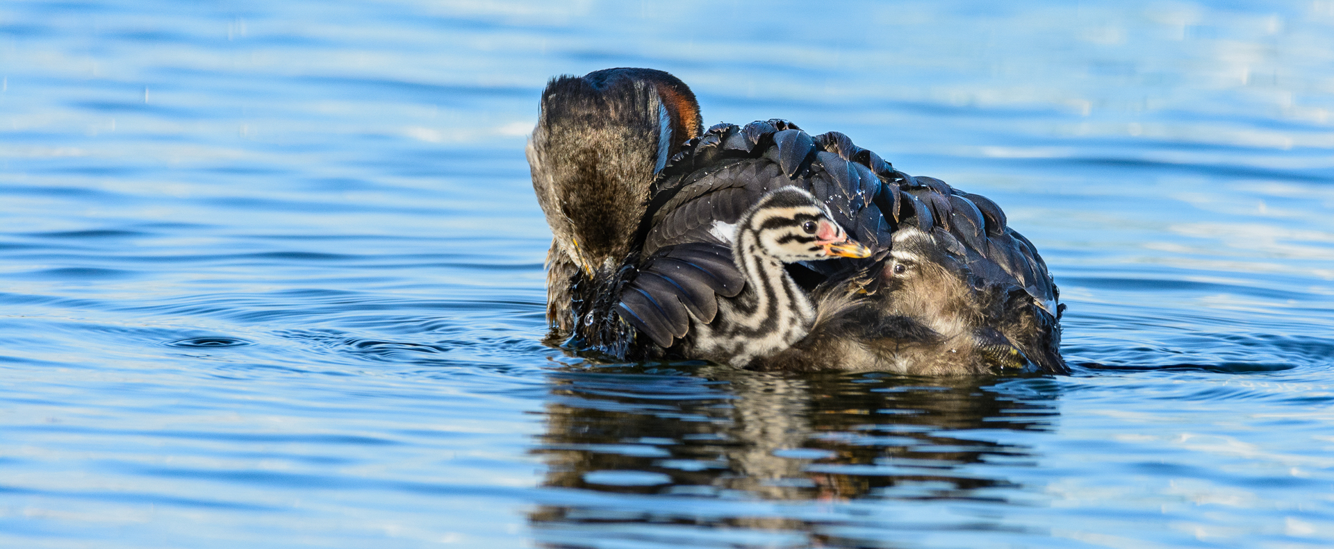 Red Necked Grebe With Chicks