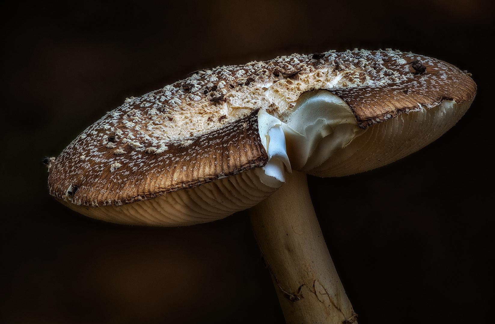 Western Amanita Mushroom