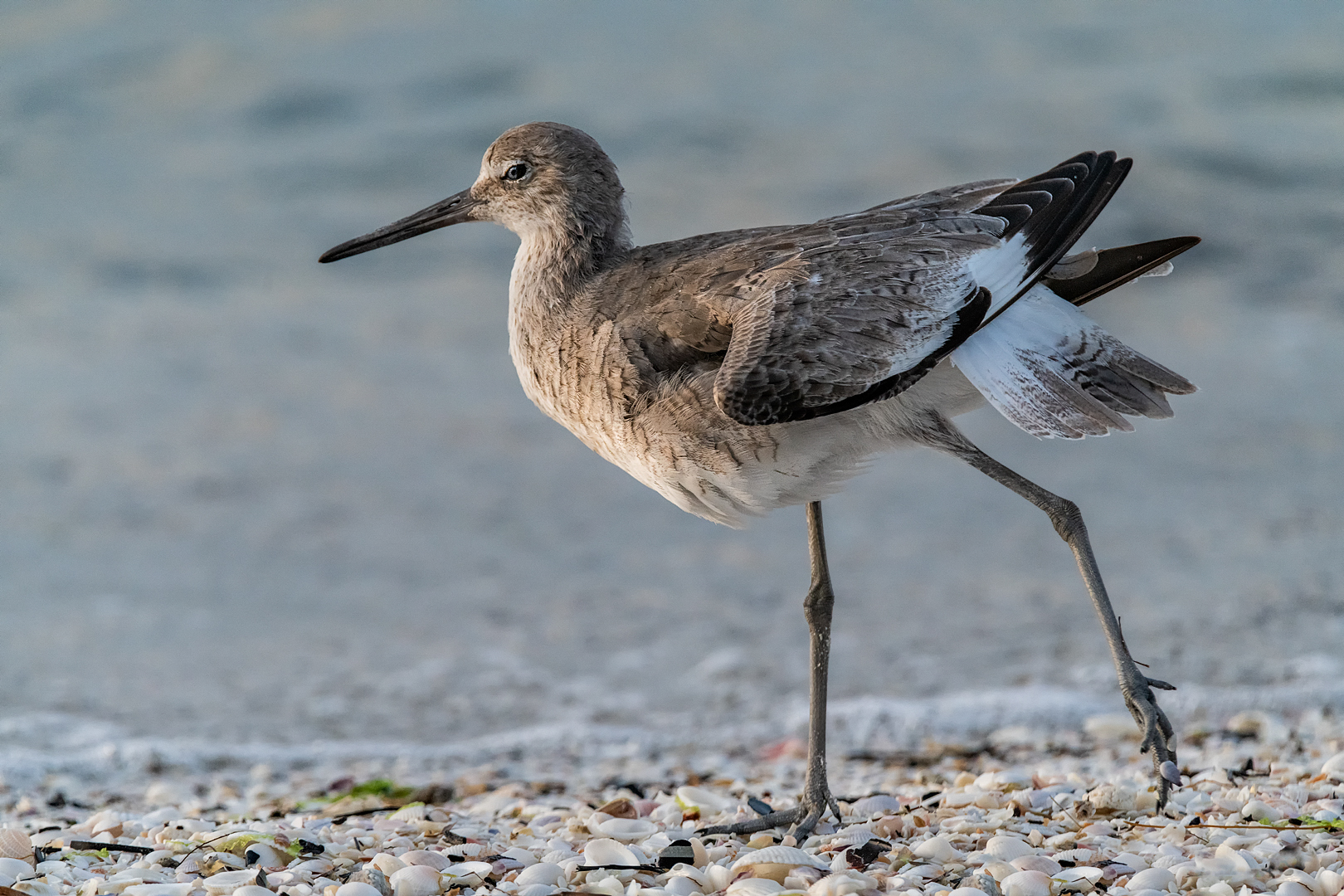 Willet In Breeding Plumage About To Fly