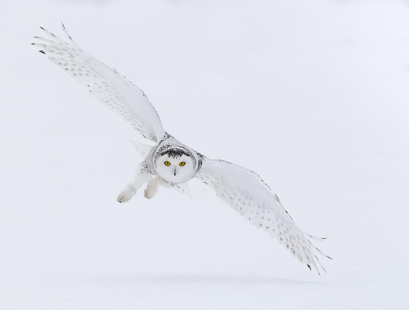 Female Snowy Owl - Balanced Flight