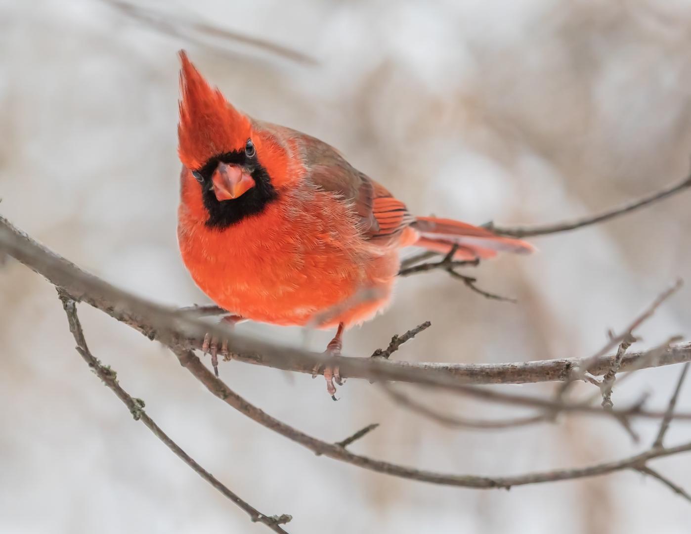 Cardinalis cardinalis (Northern Cardinal)
