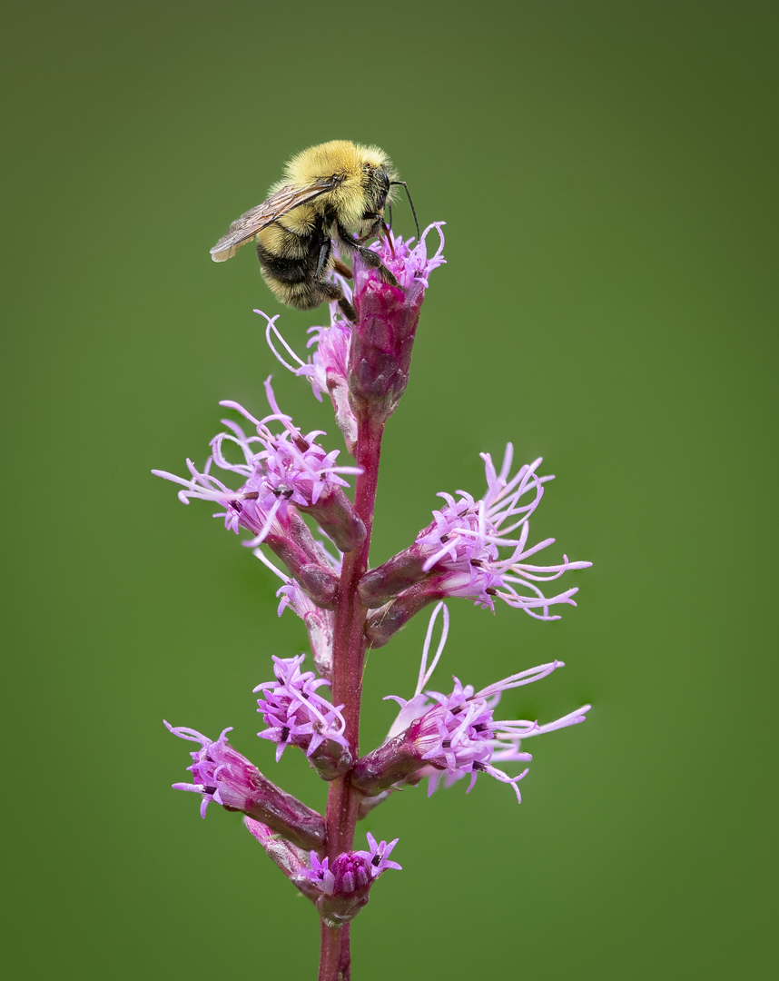 Blazing star with bee