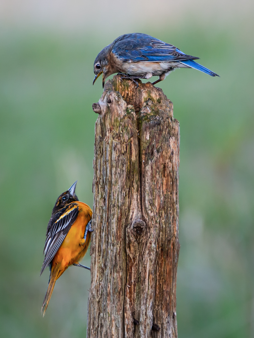 Eastern Bluebird Protecting Stump