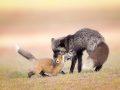 Silver fox feeding kit