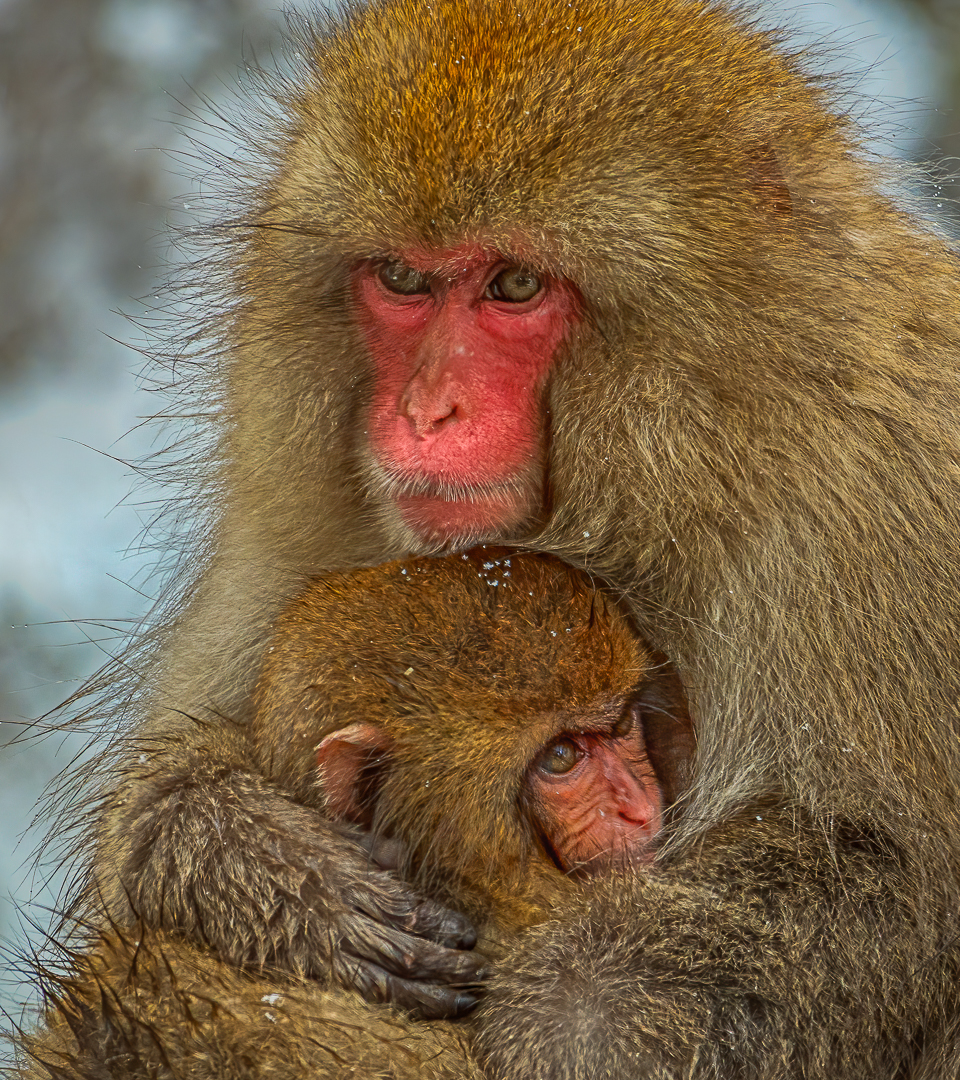 Baby And Mom Snow Monkey