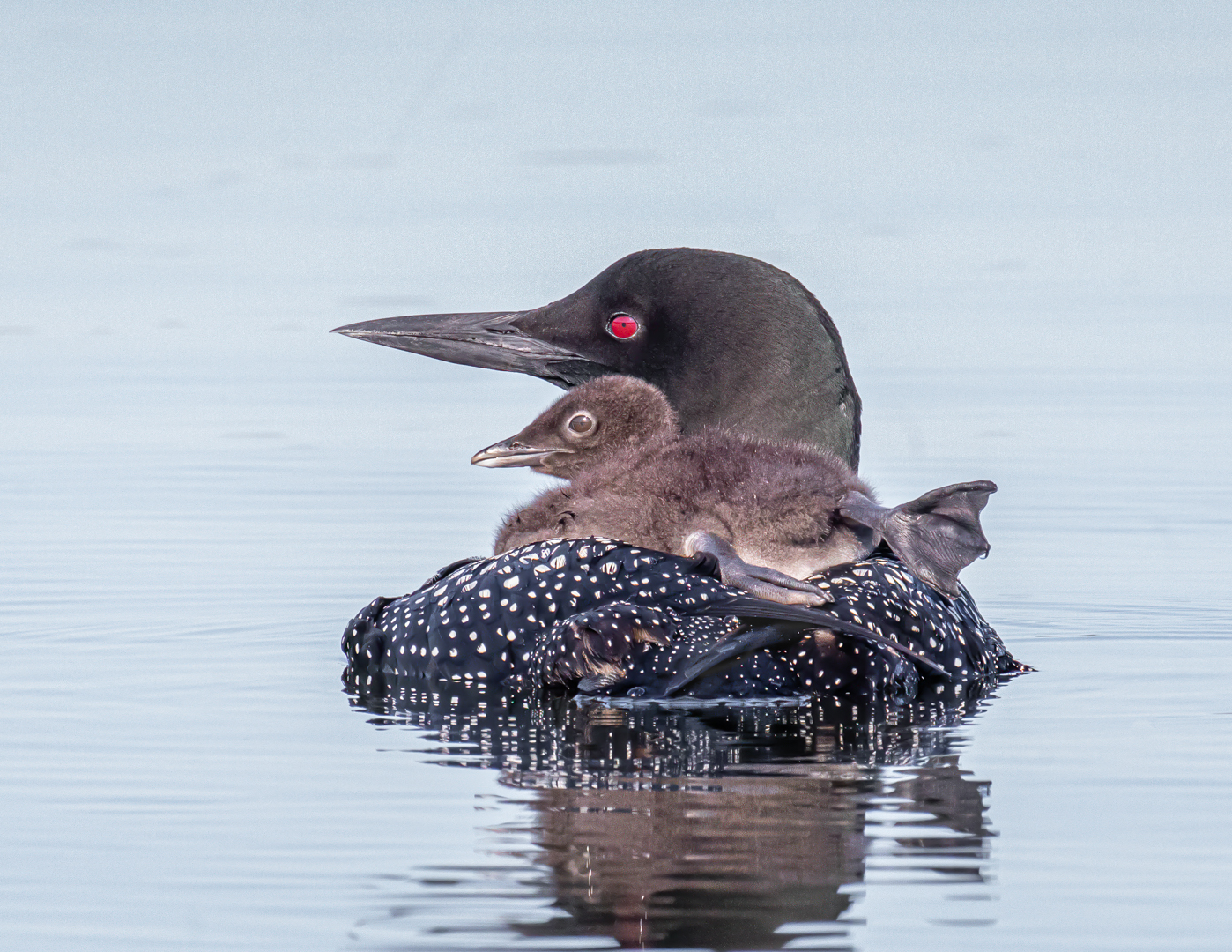 Common Loon with Chick on Board