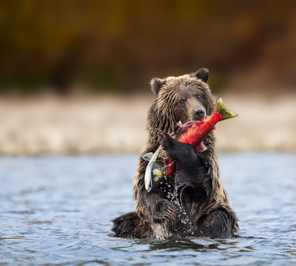 Grizzly with catch