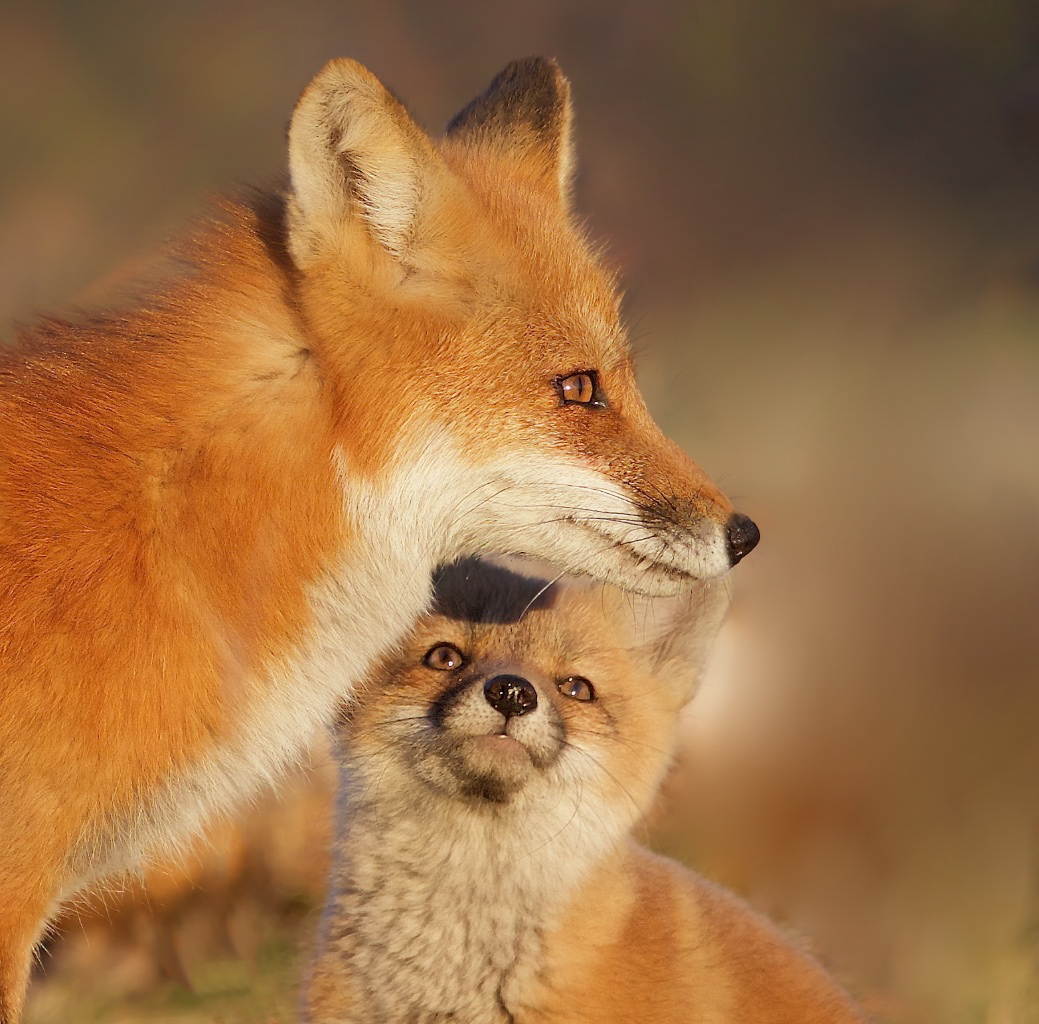 Red fox vixen with kit