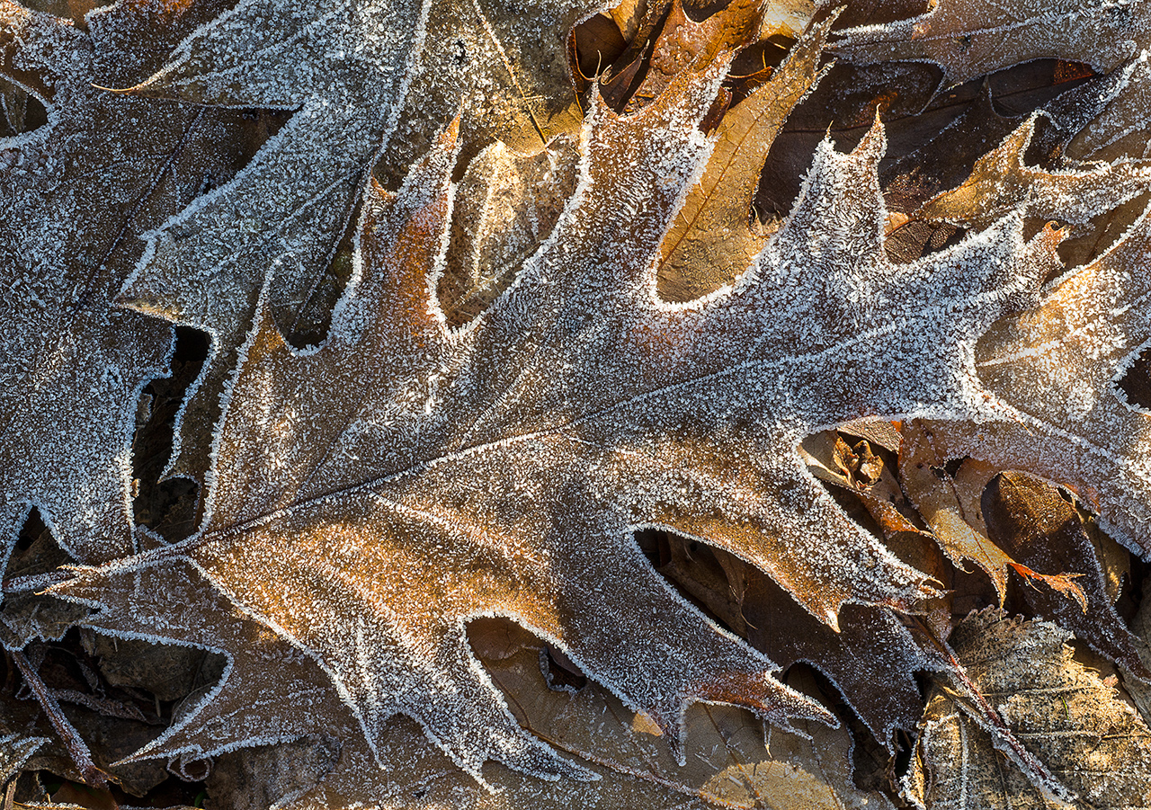 Oak Leaves with Frost