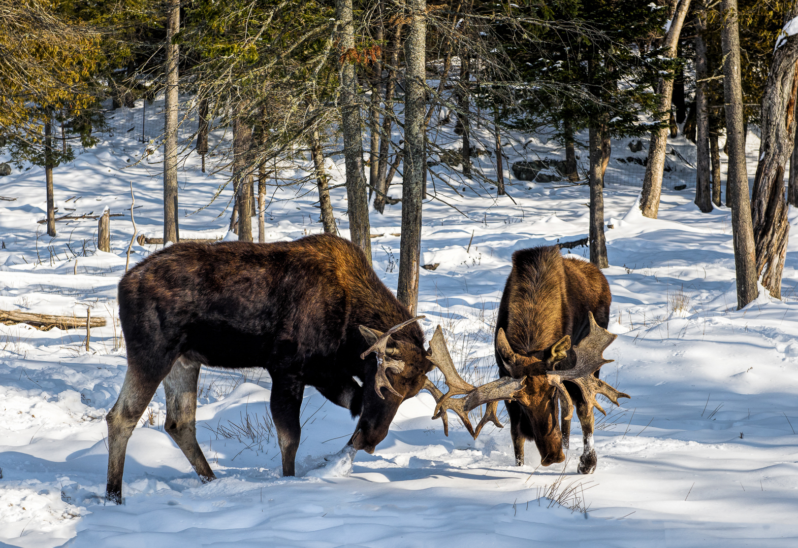 Bull Moose - Battling for Supremacy