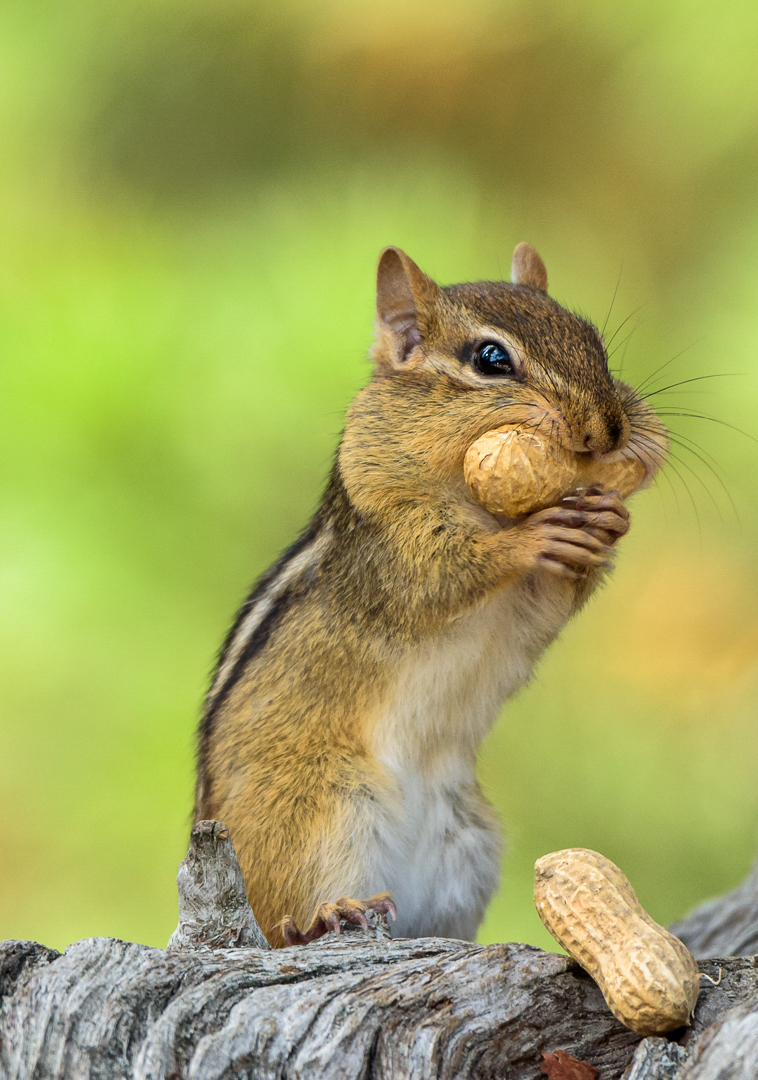 Chipmunk with peanuts
