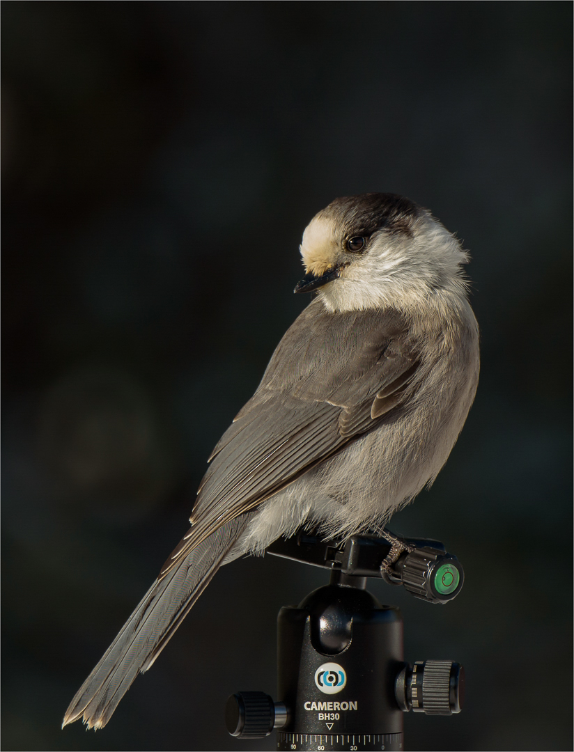 Gray Jay on a tripod