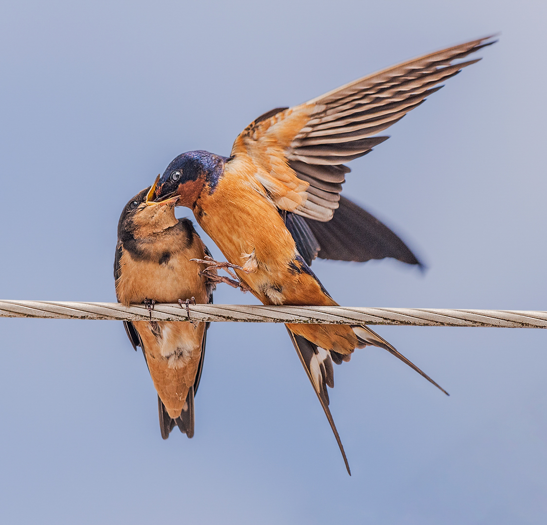 Barn Swallow Parent Feeding Baby