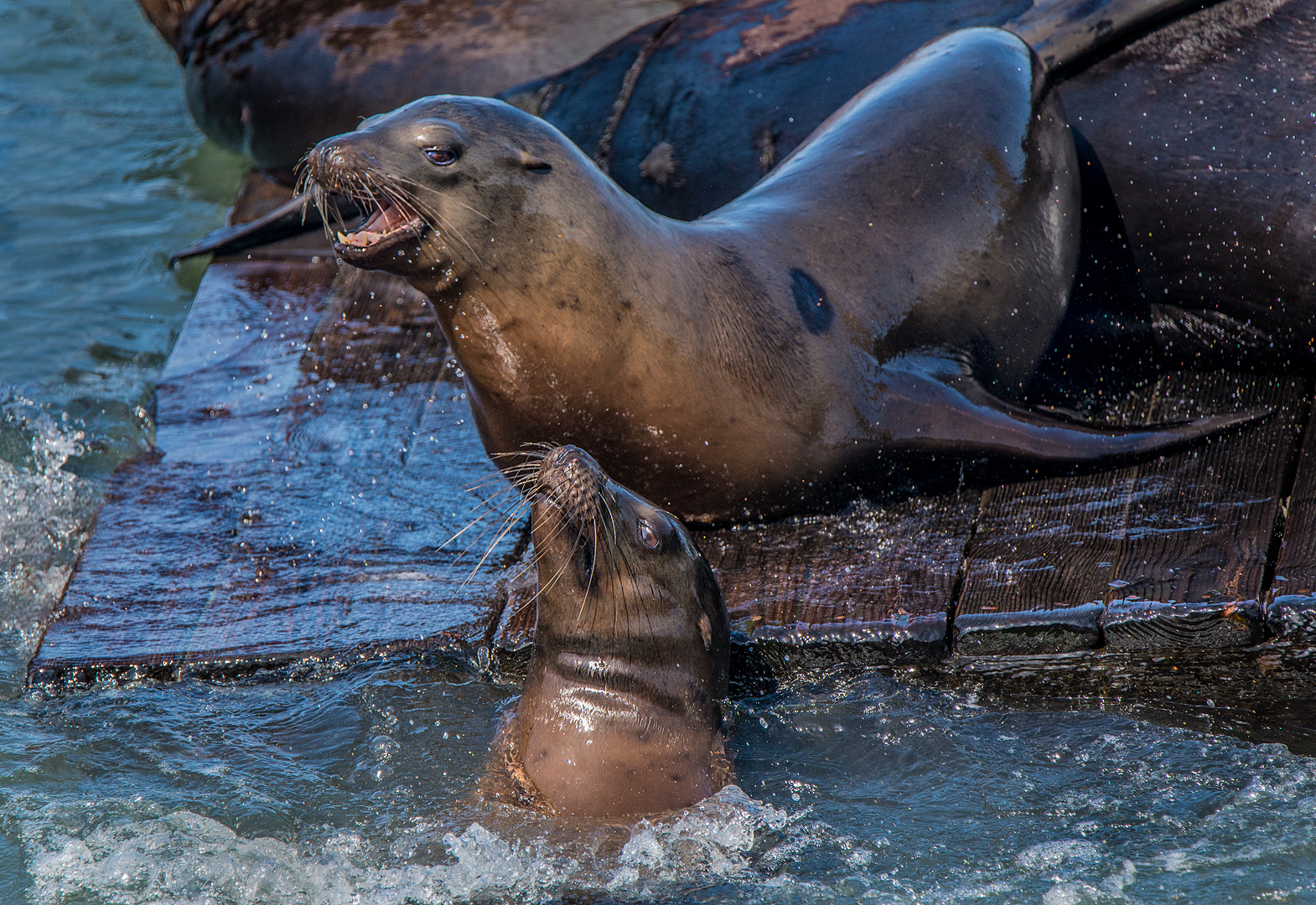 Sea Lions Fighting On San Francisco Dock