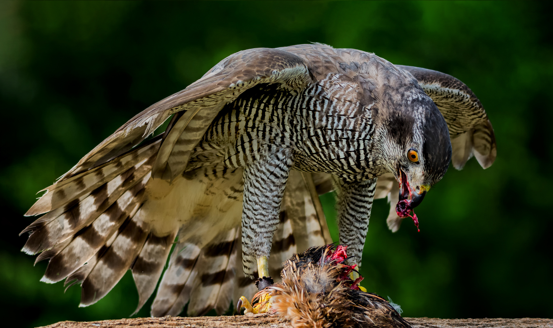 Goshawk Feeding on Baited Prey