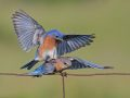 Bluebirds Sping Is Here