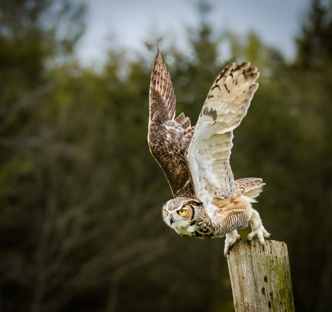 Owl Taking off from Perch