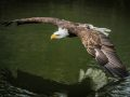 Bald Eagle Dipping Wing