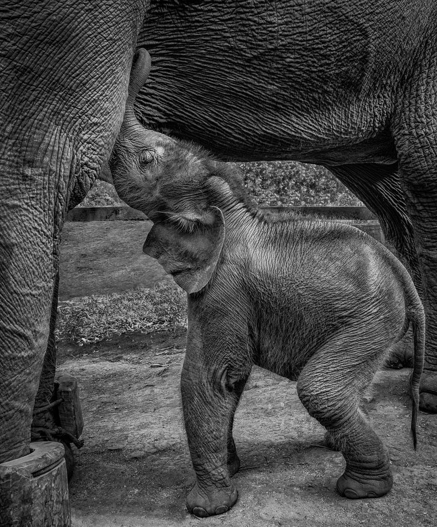 Elephant Calf Nursing at Rescue Centre, Thailand