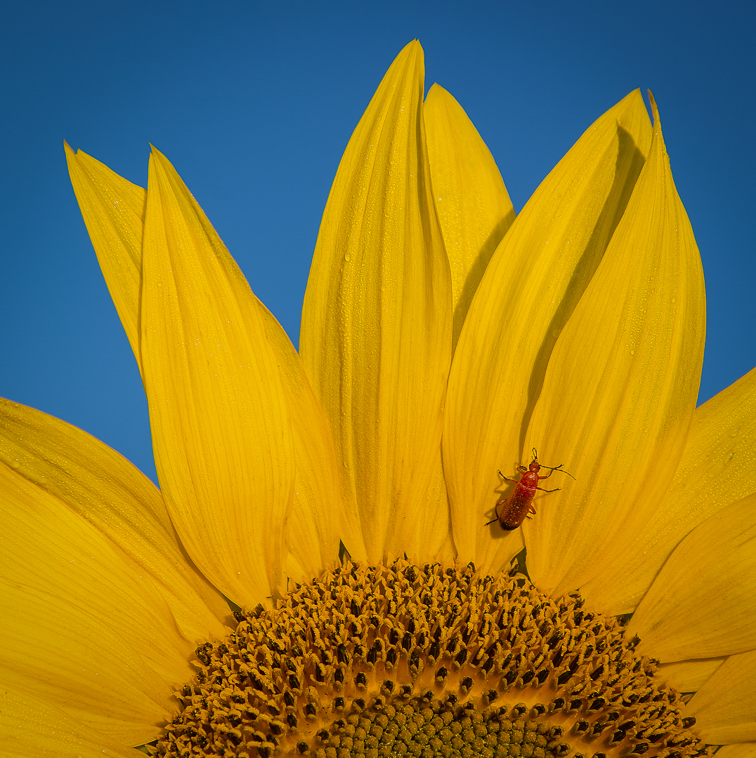Red Soldier Beetle on Sunflower