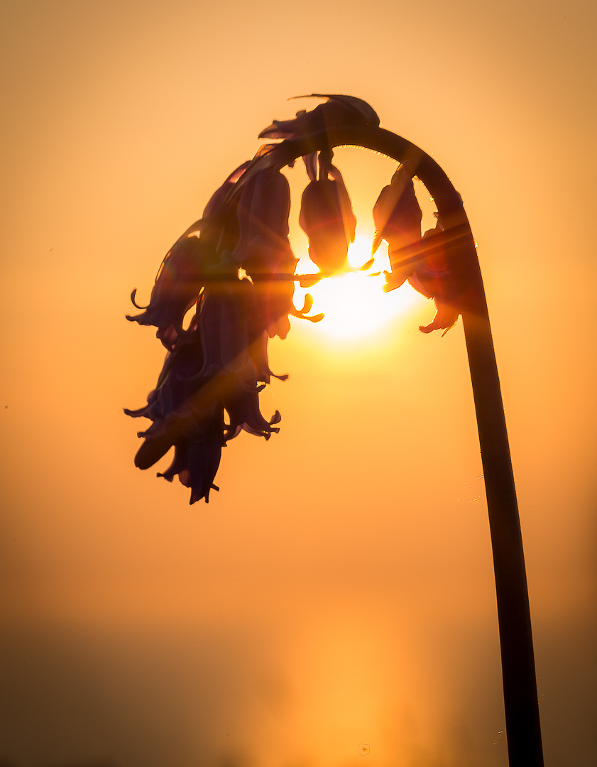 Bluebell at sunset
