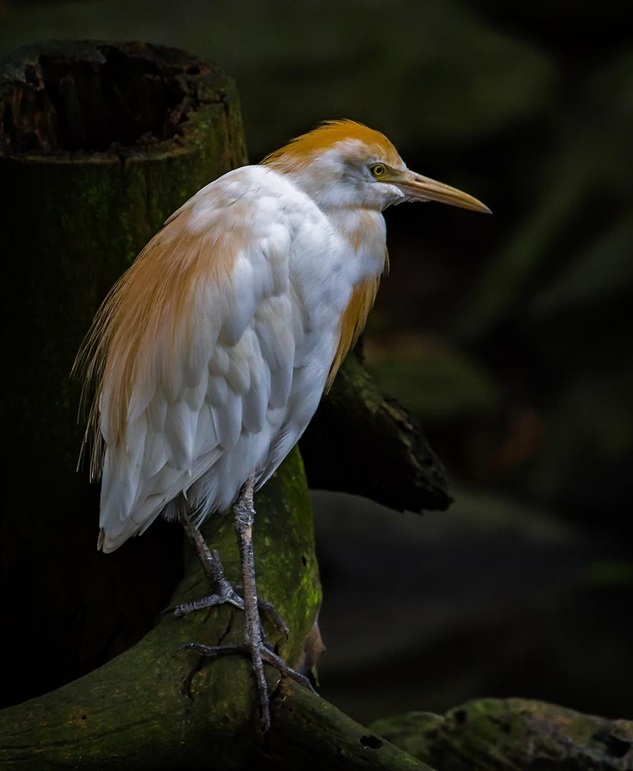 Pied Heron, Australian Sanctuary