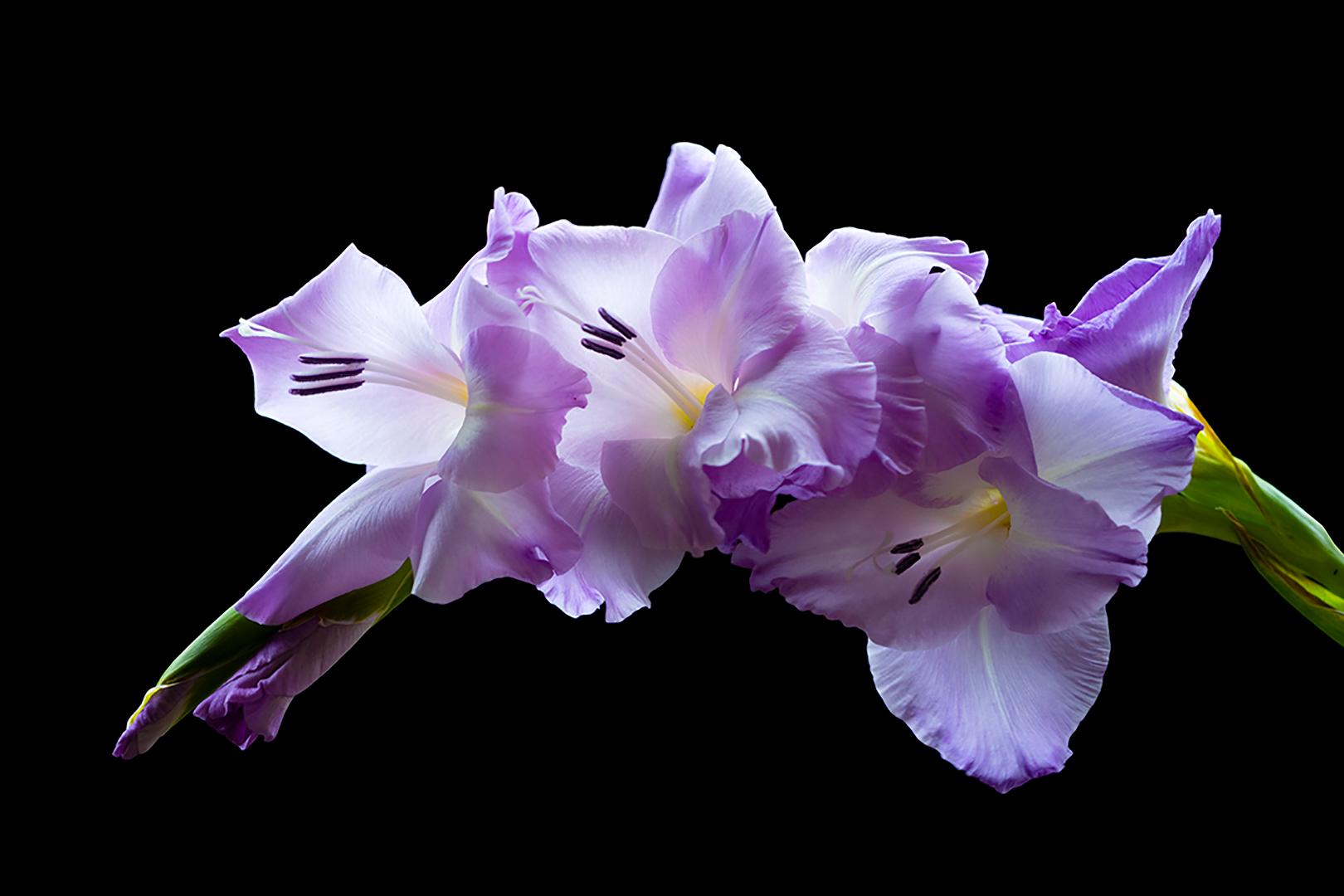 Purple Gladiola Giclee